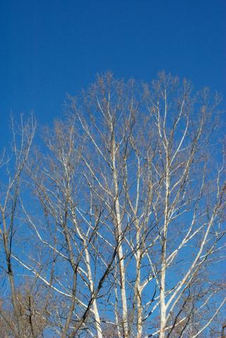 Sycamores against the Sky