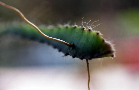Cactus Tendril