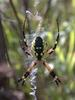 Garden Spider--thumbnail image